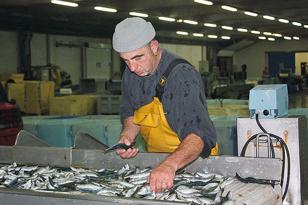 homme qui tri la sardine