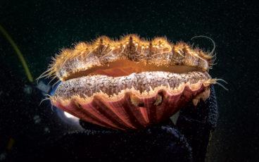 Dans la main du scaphandrier biologiste, la coquille en majesté darde vers nous ses multiples petits yeux bleus, au-dessus de la «lèvre» supérieure du manteau, également bordé des tentacules qui assurent le toucher, l'ouïe et l'odorat du bivalve.