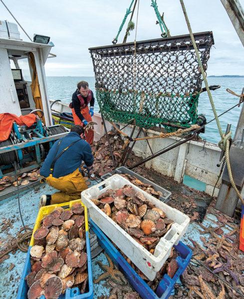 Pêche et tri de la coquille en baie de Saint-Brieuc.