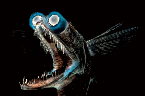 poisson-télescope (Gigantura chuni) du golfe du Mexique.