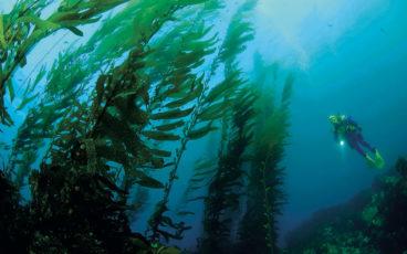 Lampe à la main, un plongeur explore une haute et sombre forêt de kelp (Macrocystis pyrifera)